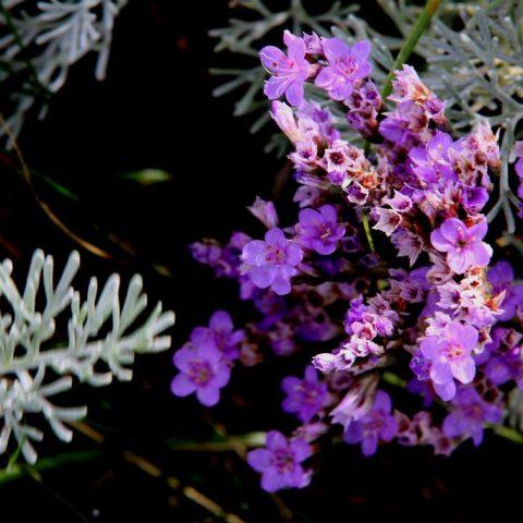 Pflanzenwelt auf der Hallig: Salzwiesen Hallig Langeneß